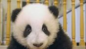 当熊猫没有了黑眼圈
