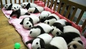 熊猫宝宝们正排着队伍睡觉,好萌