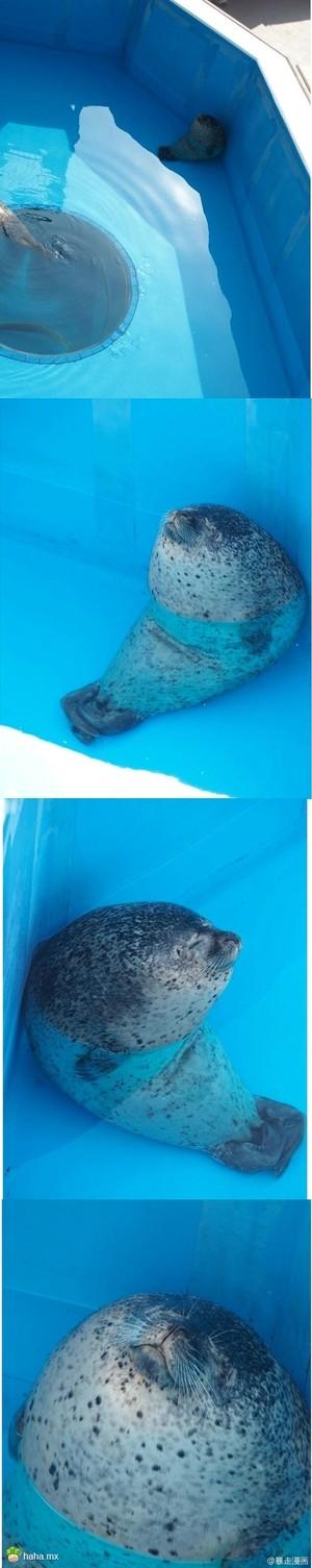 天气炎热,一只躲在池底睡觉的海豹