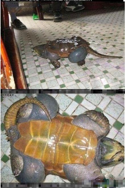 这只乌龟太胖了,连壳都无法阻止它