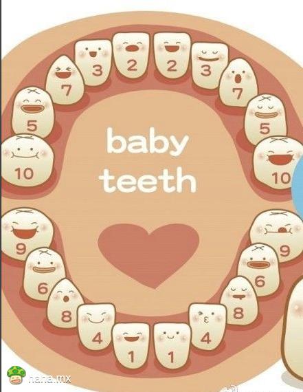 宝贝掉牙顺序
