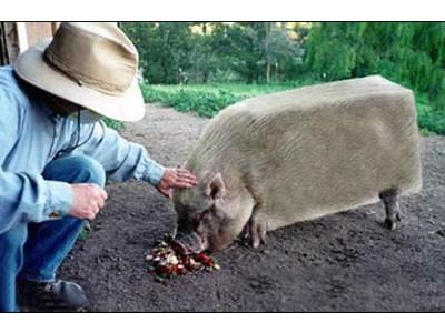 这是什么品种的猪猪