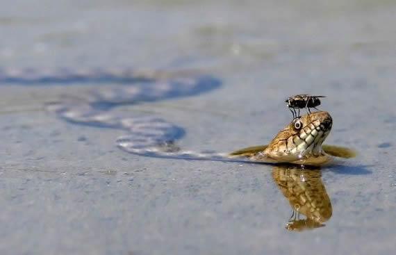 看看苍蝇是如何欺负蛇的