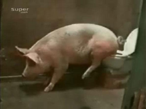会用马桶的猪