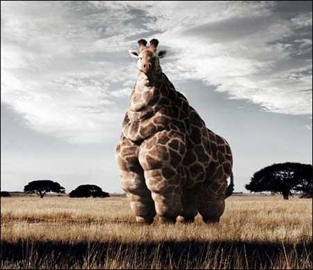 长颈鹿如果不减肥会怎么样