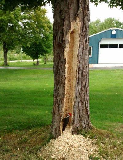 淘气的啄木鸟,和这棵树干上了