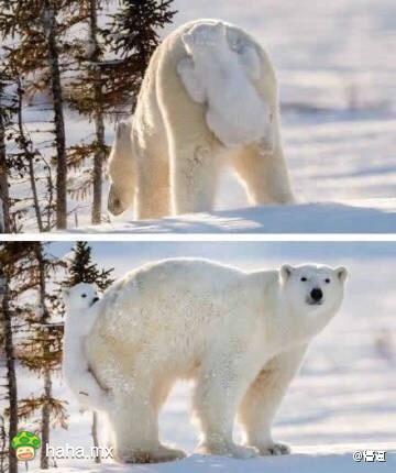 北极熊麻麻在找孩子,这画面萌哭了